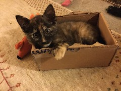 Patty in a Box (Philosopher Queen) Tags: patty cat kitten tortoiseshell playing box tortie