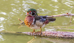 Wood Duck Drake_MG_0160 (918monty) Tags: duck drake woodduck dallas texas wildlife waterfowl feathers colorfulfeathers brilliantwildlife whiterocklake sunsetbay eveninglight swamphabitat marshhabitat beaverpondshabitat cavitynestedducks crestedbirds