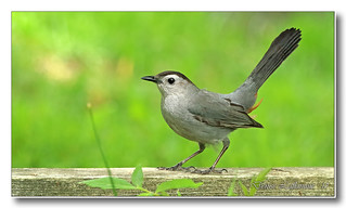 103A4363-DL   Moqueur chat / Gray Catbird.