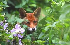 Blending In...... (law_keven) Tags: fox foxes urbanfox catford london england uk gardens gardenanimals animals mammals vixen vulpes vulpesvulpes wildlife wildlifephotography photography