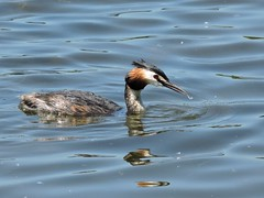 Great crested grebe (Deanne Wildsmith) Tags: staffordshire bartonmarina grebe greatcrestedgrebe bird earthnaturelife