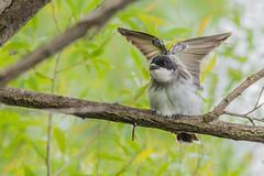 Eastern kingbird - Butterfly mode (Sammyboy77) Tags: tyrantritri easternkingbird tyrannustyrannus stretching sammyboy77