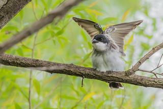 Eastern kingbird - Butterfly mode