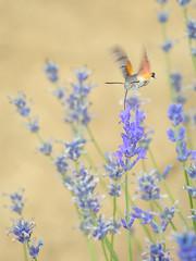 Macroglossum stellatarum (giansacca) Tags: macroglossumstellatarum sfingecolibrì moth falena sfingedelgalio lepidoptera lepidottero farfalla farfalle lavanda lavender fiori fleurs flowers