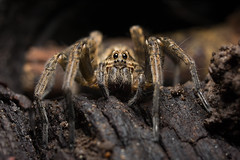 Lycosidae (Agustin Fatecha) Tags: macrography macro spider reversering details nature insect bug