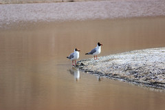 Couple of Brown Headed Gulls (views@vista) Tags: bird birds india ladakh lake nature outdoor vacation water