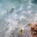 Butterflyfish, Threadfin