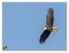 Bald Eagle - Haliaeetus leucocephalus (Crested Aperture Photography) Tags: haliaeetusleucocephalus baldeagle eagle eagles oiseaux bird birds birdsofprey birdsinflight birding vogel aves