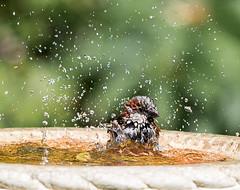 Wash and brush up. (Stu thatcher) Tags: bird uk water bath fast shutter speed birds wet splash britain england english worcester worcestershire