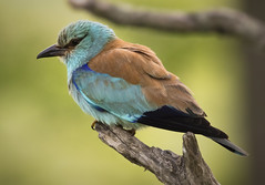 Male European Roller (Chris Bainbridge1) Tags: coracias garrulus european roller western hungary male