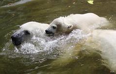 ❤️Polar Bear Taxi... [EXPLORED] (caren (Thanks for 2.0 Mio+ views)) Tags: polarbear polarbearcubquintana polarbeargiovanna eisbärgiovanna eisbär eisbärmädchenquintana ursusmaritimus tierparkhellabrunnzoomunich deutschland flickr happy pretty