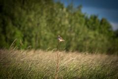 DSC_4638 (Evo800) Tags: walks cooper sky grass cloulds sunset water forth scotland nikon d610 deer skylark