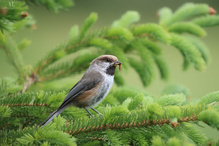 Boreal chickadee - Mésange à tête brune - Poecile hudsonicus