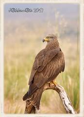 MILANO NEGRO (Milvus migrans) (JORGE AMAYA BUSTAMANTE - JAKKEMATE) Tags: jorge amaya bustamante nikon d500 sigma 150500 jakkemate milano negro milvus migrans aves fauna iberica rapaces ibericas