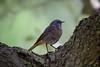 Rabirruivo (Black Redstart) (Carlos Santos - Alapraia) Tags: rabiruivo blackredstart ave bird nature natureza macro canon ngc ourplanet animalplanet wonderfulworld highqualityanimals