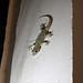 New Neighbour Gecko