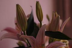 DSC01708 (oliveplum) Tags: lily flower minoltarokkorf1450mm bokeh bokehwhores sony singapore indoor flowerarrangement