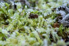 D72_3361 (Siebenundzwanzig10.de) Tags: rheinlandpfalz deutschland winter frost kalt kälte eis schnee januar nikon d7200 nikond7200 cold freez ice snow moos moss makro hahnstätten