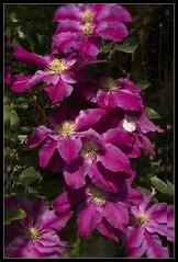 Clematis (Audrey A Jackson) Tags: canon60d flower clematis colour red nature macro closeup