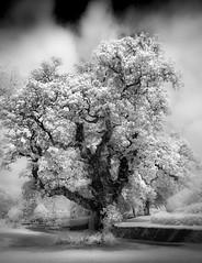 Majestic Oak (Mick Blakey) Tags: woodland shadows monochrome curves serene clouds white black moody infrared tree oak blackwhite