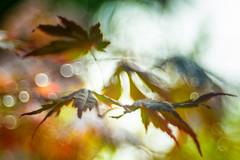 Summer rain (hploeckl) Tags: diaplan maple leaves bokeh rain rainy summer summerday