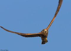 Peneireiro das Torres (Falco naumanni) (Fernando Delgado) Tags: lesserkestrel falconaumanni peneireirodastorres rapina osprey castroverde alentejo aves avesemvoo birds birdsinflight birdwatching portugal nature natureza naturephotographer