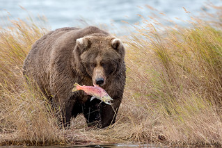 Grizzly - IMG_1797