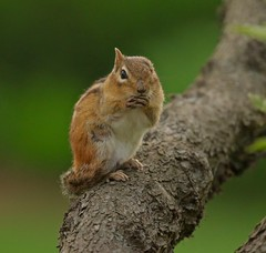 Ace (Slow Turning) Tags: tamiasstriatus easternchipmunk rodent injured injuries missing ear eye one grooming tree spring southernontario