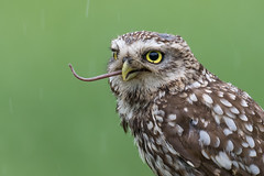 Little Owl (irelaia) Tags: tail bird wild little owl hide worcestershire