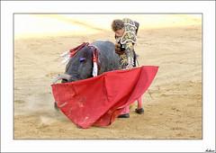 Natural(Tauromaquia) (V- strom) Tags: tauromaquia bullfighting bullfighter torero fucsia rosa pink amarillo yelow fandiño escribano rojo red azul blue oro gold toro bull arte art bravura bravery arena sand capote cape natural revolera derechazo estilismo plasticidad nikon nikon2470 nikon50mm nikon105mm nikon70300 sol sun trajedeluces lightsuit españa plasencia