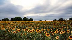 Chacun ses champs ! (Nadia L*) Tags: tournesol champ fleurs flowers orage storm ciel sky