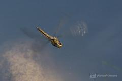 dragonfly in flight (photos4dreams) Tags: gersprenz13072017p4d gersprenz18062017p4d gersprenz münster hessen germany naturschutz nabu naturschutzgebiet photos4dreams p4d photos4dreamz nature river bach flus naherholung susannahvvergau libelle dragonfly damselfly