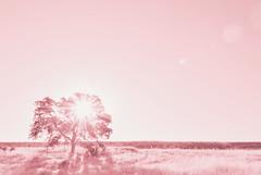 Sunshine (Carrie McGann) Tags: sun sunshine sunflare flare tree oaktree field sky eldoradohills pink monochrome 062417 nikon interesting