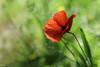 Bokeh du matin !!! (thierrymazel) Tags: bokeh coquelicot poppy printemps spring pdc dof profondeurdechamp nature fleurs flowers blossoms