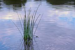 Ripples (Chancy Rendezvous) Tags: ripples pond water grass aquatic reflection park elmpark worcester massachusetts nikon nikkor d500 chancyrendezvous