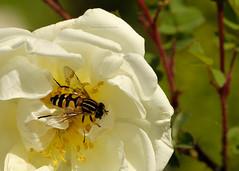 D3X_0234_fl (dmitrytsaritsyn) Tags: insect macro nikon d3x 105mm r1c1 outdoor flyinginsect