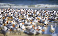 Terns (NorthFla) Tags: anastasiastatepark staugustine florida floridastateparks tern shorebirds beach sea ocean birds nature wildlife