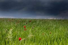 Primavera a la Segarra (Aicbon) Tags: verde segarra primavera spring flower color flores roselles amapolas amapola nature naturaleza campo field tormenta cielo sky rain green red canon catalunya catalonia lleida lerida lasegarra plansdesio