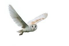 Barn Owl, Flamborough (Phil D 245) Tags:
