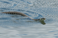 Swimmingly (Andrew_Leggett) Tags: grasssnake natrixnatrix reptile snake swimming water summer rspboldmoor curve sshape ripples andrewleggett