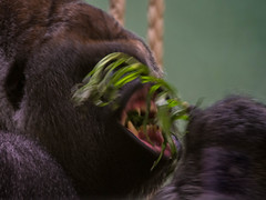 P6210282.jpg (Coleta) Tags: blijdorp gorilla bokito