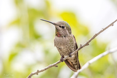 Ruby Throated Humming Bird (Linda Martin Photography) Tags: archilocuscolubris california hummingbird rubythroatedhummingbird usa pointferminpark male pacificocean coth alittlebeauty ngc npc coth5