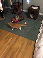 iPhone 3969 (mary2678) Tags: tewksbury massachusetts ma kitty kitten cat maine coon chele kvothe