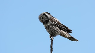 Video | Northern Hawk-Owl | Surnia ulula | Chouette épervière