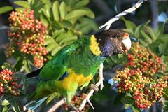 28 Parrot (jeans_Photos) Tags: 28parrot parrot bird westernaustralia swanview