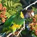 28 Parrot