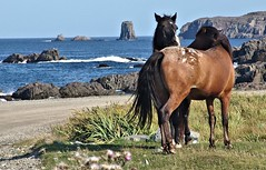 Horses have each other's backs. (Starkrusher) Tags: newfoundland newfoundlandandlabrador horses horsehair oceanfront scenic atlanticocean