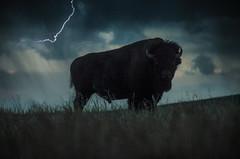 Indignant (MattGerlachPhotography) Tags: bison indignant nebraska fort robinson state park storm lightning silhouette angry ominous buffalo bull male nikon d7000 june 28 2017
