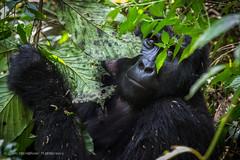 Female gorilla from Nkuringo family, Bwindi Impenetrable Forest, Uganda, June 2017 (Catherine Gidzinska and Simon Gidzinski/grainconno) Tags: 2017 absolutteafrica absolutteafricaafrica africa bufumbira bwindi bwindiimpenetrableforest bwindiimpenetrablenationalpark eastafrica impenetrableforest june nkuringo nkuringogorillafamily uganda westernregion ape closeup gorilla gorillatrekking jungle monkey trekking ug absolutte
