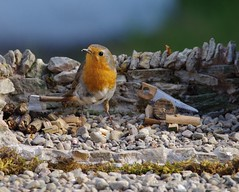 rambo the robin  micro garden bird table  (9) (Simon Dell Photography) Tags: ambo yorkshire robin bird nature wild life animals sheffield uk old english garden model modle micro table stone made diy hand dry best red breast simon dell photography